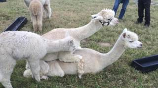 Alpacas mating