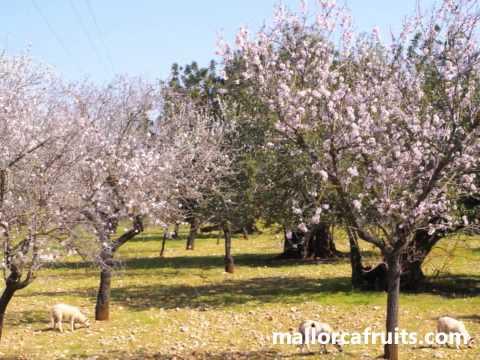 Danzando en primavera, almendros en flor Mallorca