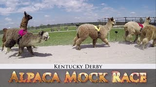 Alpacas Predict the 2018 Kentucky Derby Winner I NBC Sports