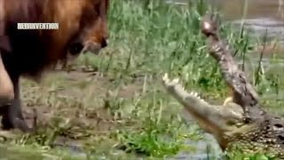 Lion, Tiger vs Crocodile Real Fight at River