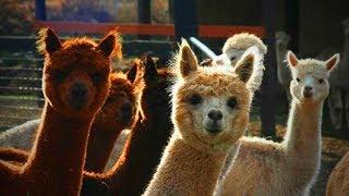 Cute Llamas 😍😂 Funny and Cute Llamas [Funny Pets]