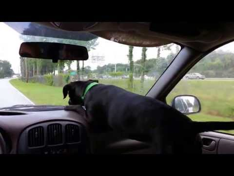 Dog Discovers Windshield Wipers