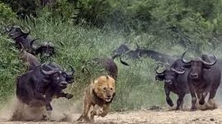 Dangerous African Cape Buffalo (Black Death) - attacks & kills Lions in Africa