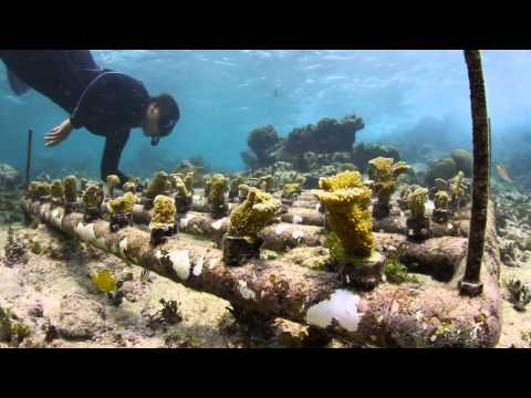 Coral reef rehabilitation -Mexico
