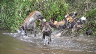 DOGS ATTACK HYENAS