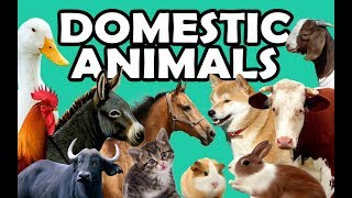 DOMESTIC ANIMALS | Learn Domestic Animals Sounds and Names For Children, Kids And Toddlers