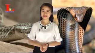 Đây Mới Là Chúa Tể Thực Sự Của Loài Rắn, Kẻ Thống Trị Rừng Xanh Cần Được Bảo Vệ. LNV Khám Phá TV
