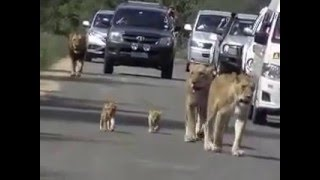 A Free Walk Day For The Lions In Nairobi