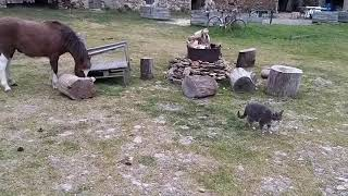 Pony meets cat, animal friendship, odd couples