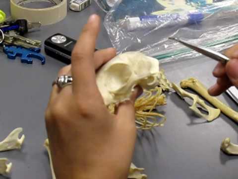 Skelet mačke 2 deo