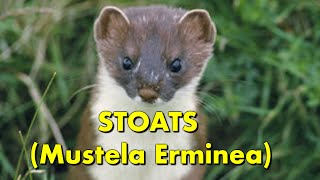 Stoats  ( Animals in swimming pools) Stoat  - Baby Stoat rescued from the pool ( Swimming Stoats)