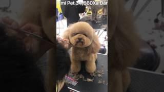 Cắt tỉa lông cho poodle - Kimi Pet - Thế giới thú cưng (34/360 Xã Đàn) - 0988833892