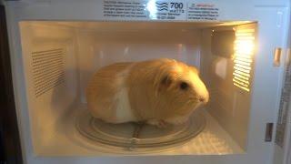 Microwave Guinea Pig