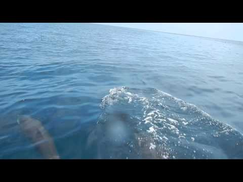 Playing with Dolphins in Maratua Ocean, Derawan Islands
