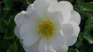 Dog rose flowers. You will be to feel happy when seeing this flower !