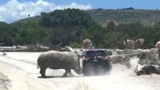 Watch: Rhino attacks vehicle at safari park..