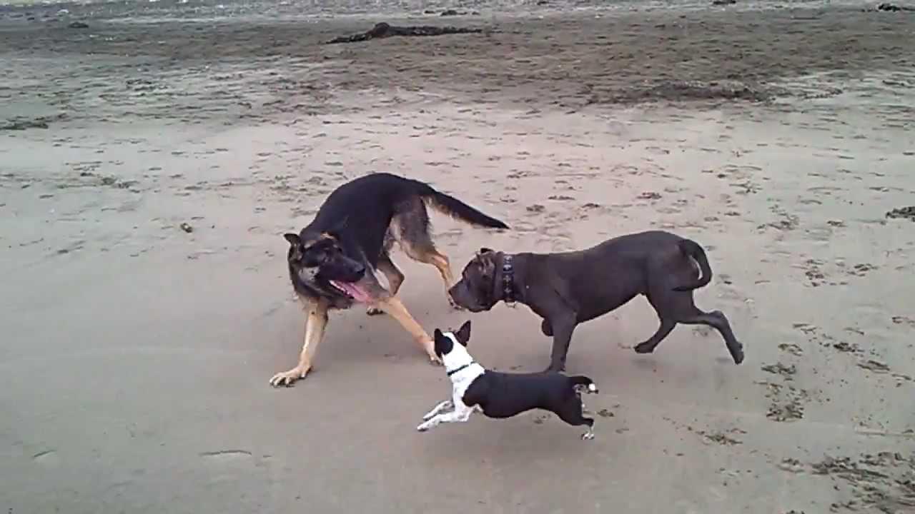 Pitbull Amp German Shepherd Fight Youtube