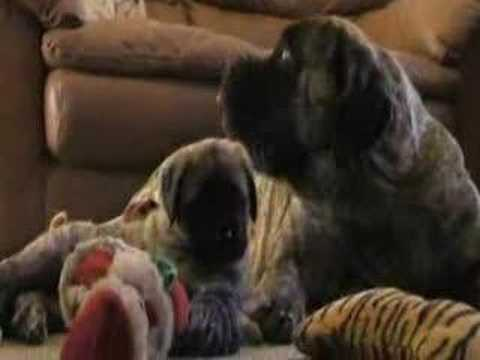 Funny Mastiff puppy with her mommy