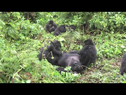 A gorilla family at Volcanoes National Park - PART 2