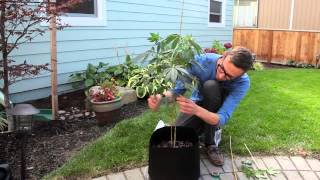 Marijuana plant maintenance: Bending and pruning tutorial
