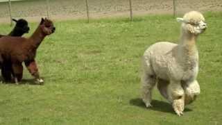 Chubby Baby Alpacas Running