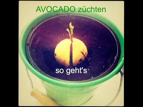 avocado z chten so geht 39 s youtube. Black Bedroom Furniture Sets. Home Design Ideas