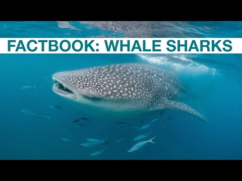 Factbook: Whale Sharks