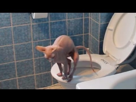 katze geht aufs klo automatische wc sp lung selber bauen cat using toilet youtube. Black Bedroom Furniture Sets. Home Design Ideas