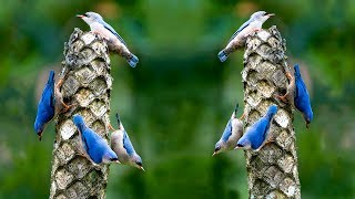 বনমালী পাখি | Unbelievable Velvet-fronted Nuthatch | Top 10 Most Stunningly Beautiful Birds in World