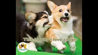 This is why i love corgis | Cuties animal