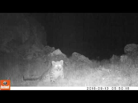 Snow Leopard and Four Cubs Caught on Camera