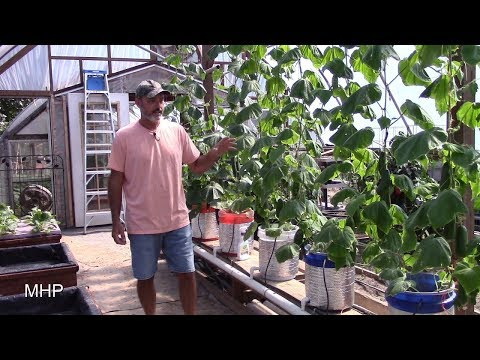 Dutch Bucket Hydroponics - Growing Cucumbers, Tyria and Iznik