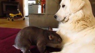 Wombat joey Yhi with guardian dog Stella at Sleepy Burrows Wombat Sanctuary