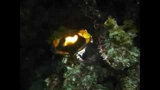 シロボシテンジクザメの卵