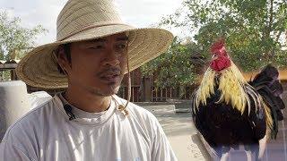 Việt kiều Mỹ bỏ cao học, nuôi gà kiểng xuất cảng về Việt Nam