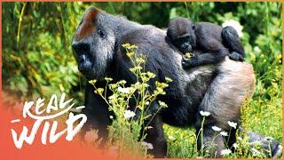 Gorillas In The Mountain Mist [Gorilla Survival Documentary]   Wild Things