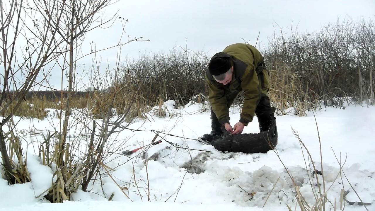 Ловля бобров петлями зимой