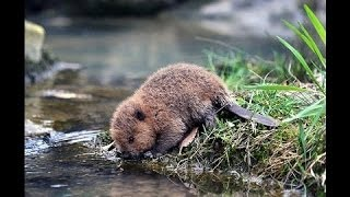 National Geographic Documentary - Beaver, beaver damn - Wildlife Animal