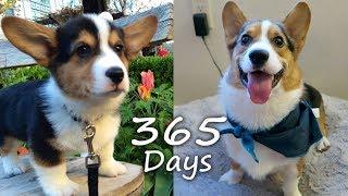 Puppyhood in 365 DAYS: A CORGI PUPPY GROWS UP!