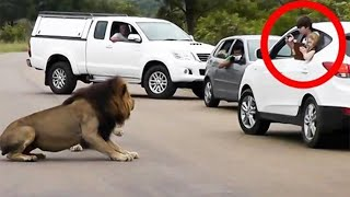 10 Times Lions Showed Tourists Why You Must Stay Inside Your Car