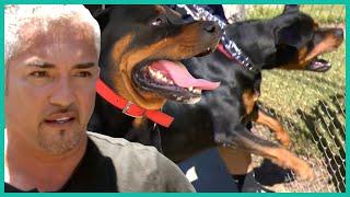 Cesar Millan Takes on a Vicious Rottweiler   Cesar 911