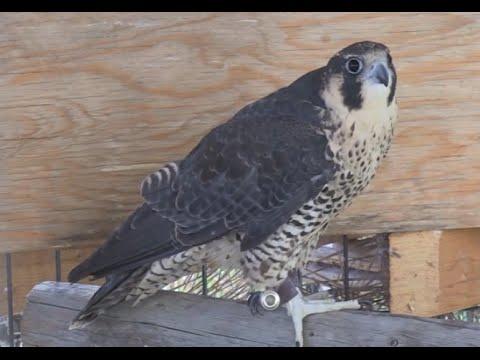 Meet Kina the peregrine falcon