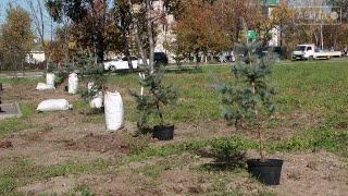 В сквере у памятника Фёдору Сергееву высадили голубые ели