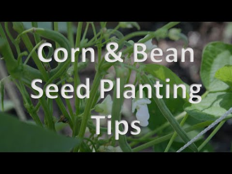 Corn and Bean Seed Planting Tips