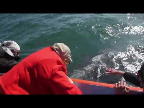 Gray Whale Calf and Mother at Laguna San Ignacio