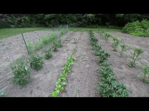 THIS YEARS GARDEN. 2020. Taking a look at how things are growing.