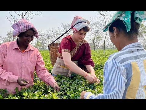 Viral video: Priyanka Gandhi plucks tea leaves at tea garden in poll bound Assam