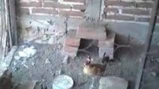 La gallina turuleca en vida real