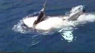 ホオジロザメ13