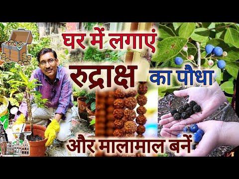 घर पर लगाएं रुद्राक्ष का पौधा और बनें मालामाल  / Rudraksh Plant Growing and Caring